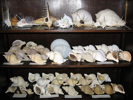 (Display of Neptunea, Beringius, Murex, etc)