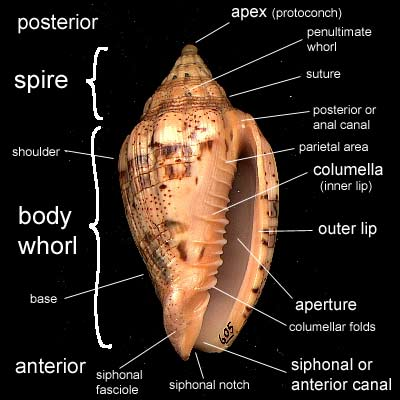 (gastropod shell morphology)