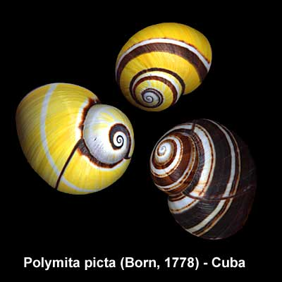 Peters Seashells  Seashell Links